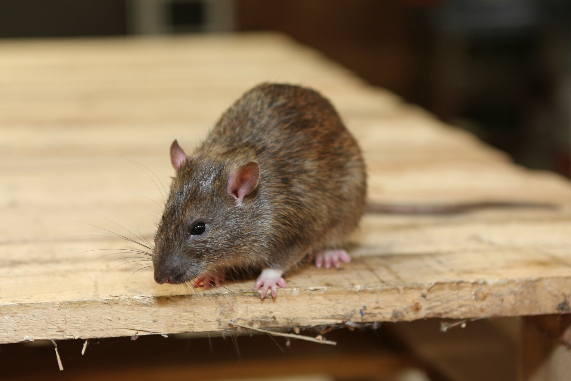 Rat Control, Pest Control in Havering-atte-Bower, Abridge, RM4. Call Now 020 8166 9746