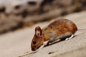 Mice Control, Pest Control in Havering-atte-Bower, Abridge, RM4. Call Now 020 8166 9746