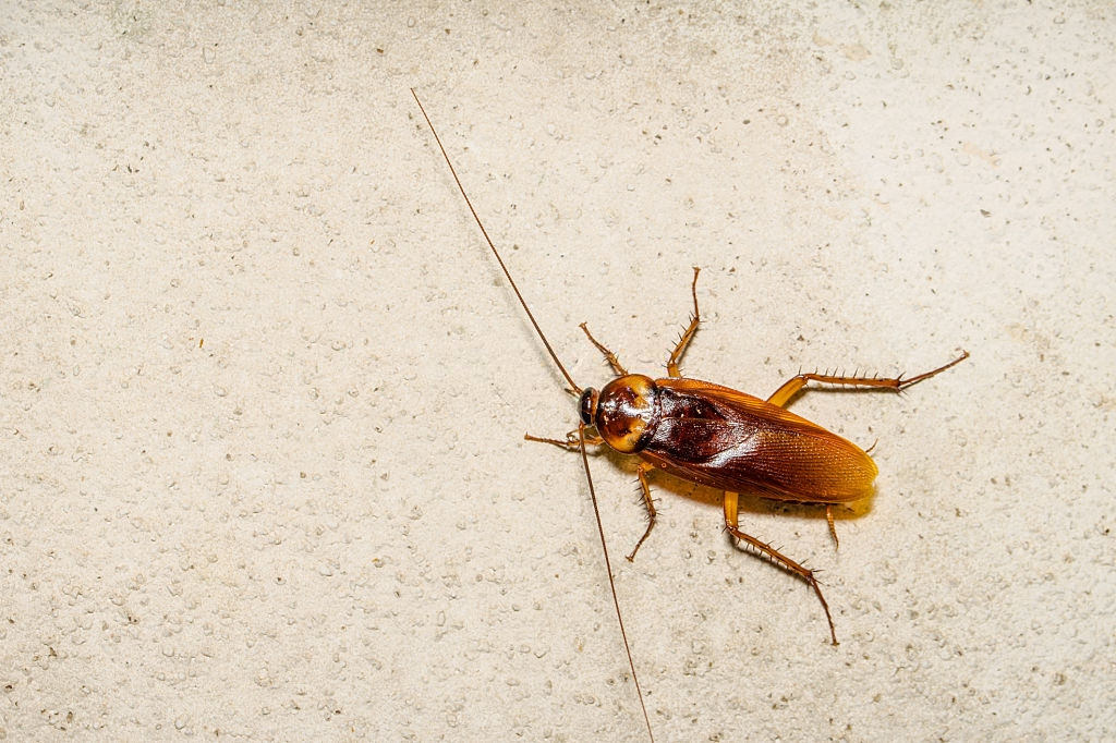 Cockroach Control, Pest Control in Havering-atte-Bower, Abridge, RM4. Call Now 020 8166 9746