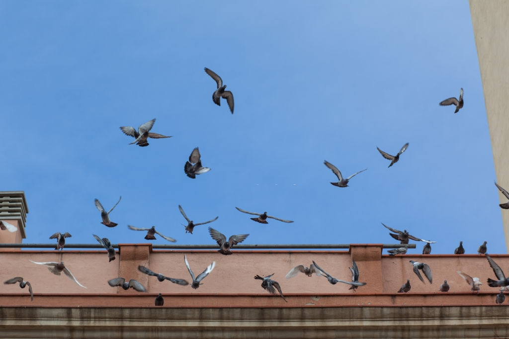 Pigeon Pest, Pest Control in Havering-atte-Bower, Abridge, RM4. Call Now 020 8166 9746